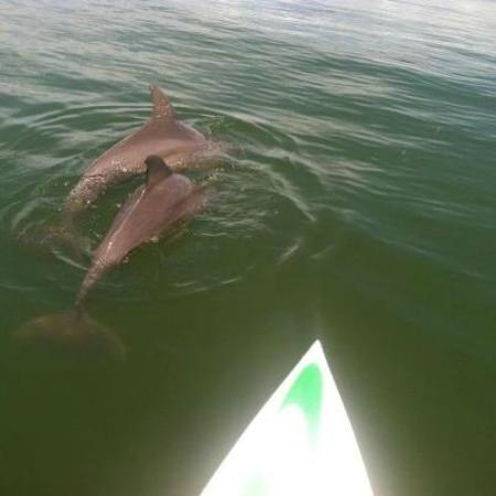 Sarasota Paddleboard Company: dolphins playing