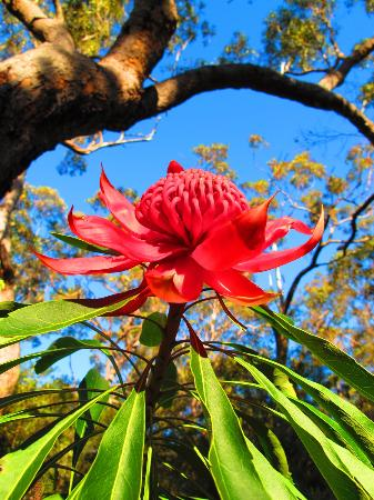 Spicers Sangoma Retreat: spring waratah