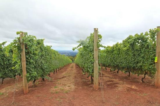 A Nose For Wine Tours: Miles of vines
