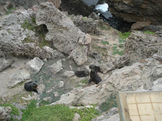 Exceptional Kangaroo Island: Fur seals at Admirals Arch, seen from the boardwalk