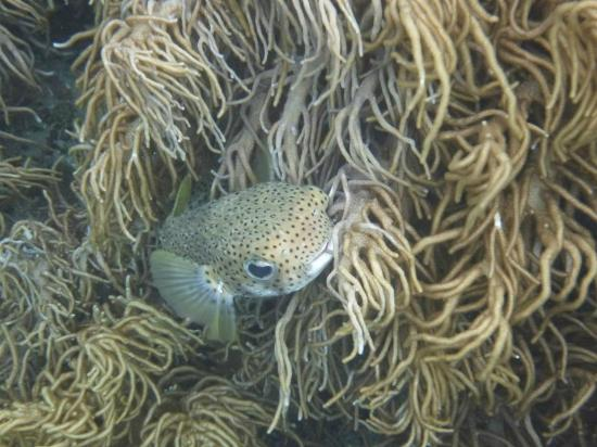 Wakatobi Dive Resort: Spotted porcupinefish