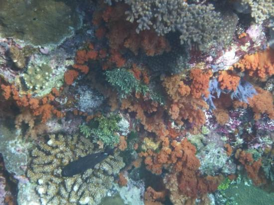 Wakatobi Dive Resort: Colourful corals on house reef