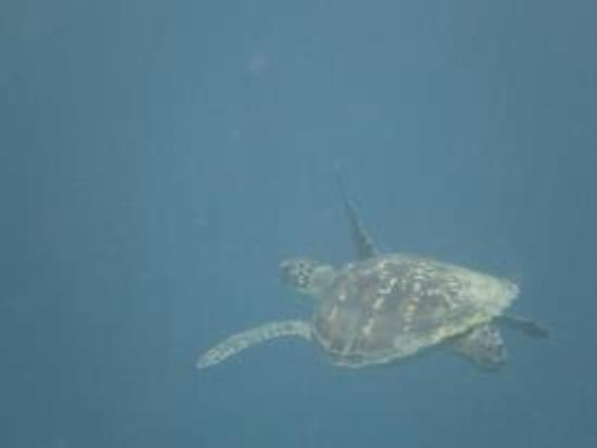 Wakatobi Dive Resort: Turtle at Turkey Bay