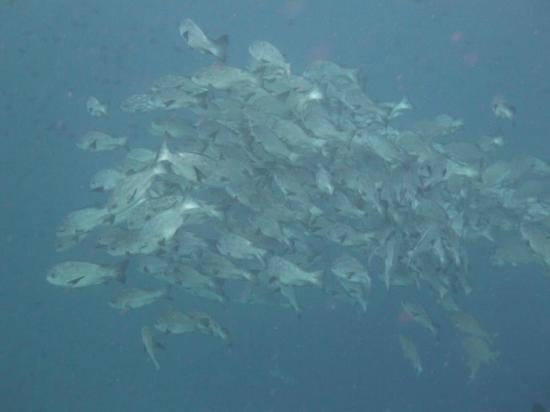 Wakatobi Dive Resort: School of snapper