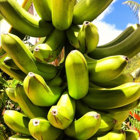 Villa Bananier: Banana tree behind the house