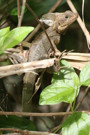 Al Natural Resort: Brown Basilisk