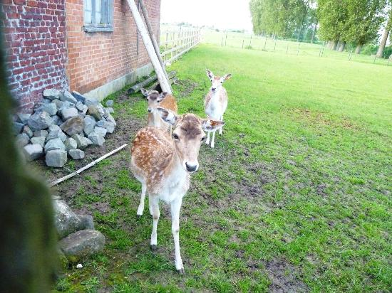 De Rentmeestershoeve : The lovely deer
