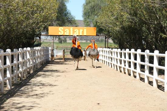 Safari Ostrich Show Farm: Ostrich race