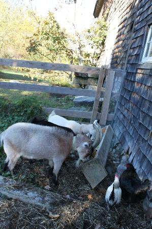 Olde Orchard Inn: Feeding the goats