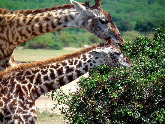 Serengeti Bushtops Camp: -