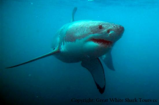 Hermanus-Seekers Day Tours: Shark diving in Gansbaai.
