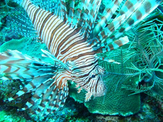 Little Cayman Beach Resort: Lionfish