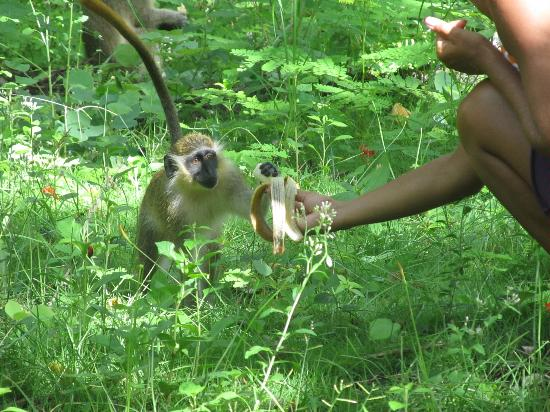 Bougainvillea Beach Resort: Feeding the wild monkeys - highlight of my trip!