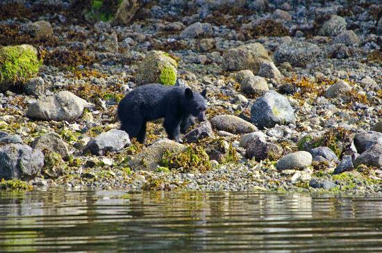 Archipelago Wildlife Cruises: Junger Schwarzbär