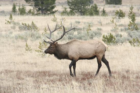 Elk in Jackson Hole, WY