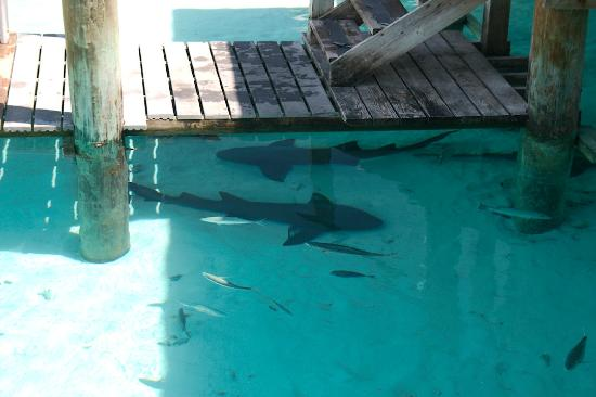 Compass Cay Marina: The sharks