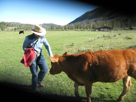 T Cross Ranch: Ella, the calf loved to head butt you, fun.