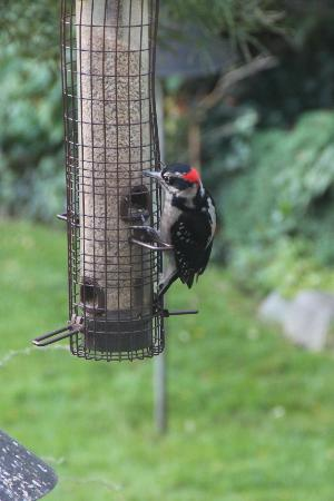 ThistleDown House: Woodpecker on the bird feeder outside the breakfast room