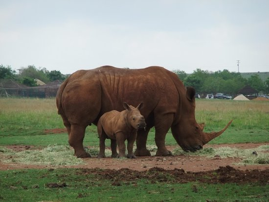 Muldersdrift, South Africa: Rhino and calf