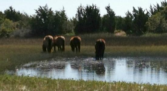 Waterbug Tours : Wild Horses on Carrot Island