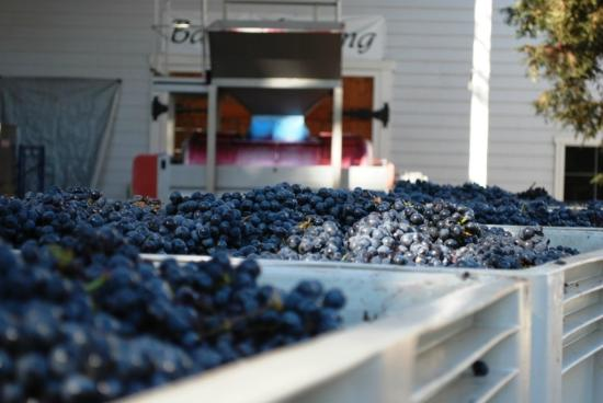 Macchia Wines: We were just in time to see grapes being harvested and pressed (Oct 25, 2012).