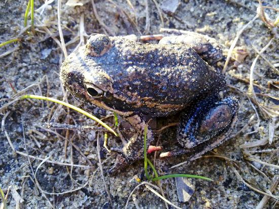 Kangaroo Island Bush Getaway : Banjo frog (another local)