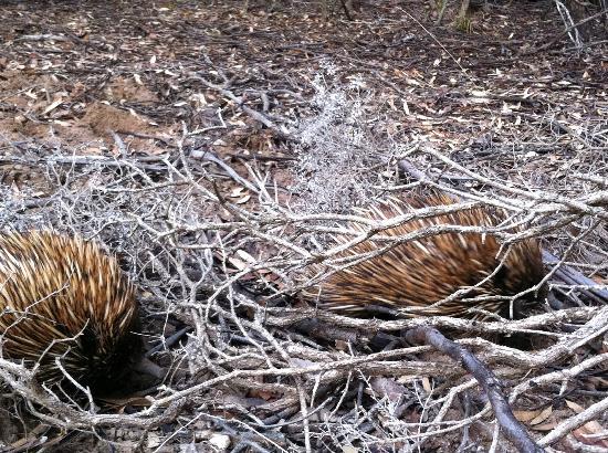 Kangaroo Island Bush Getaway: Echidnas