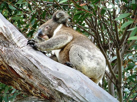 Kangaroo Island Bush Getaway: Koala next to cabin