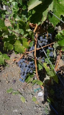 Baldacci Vineyards - the grapes