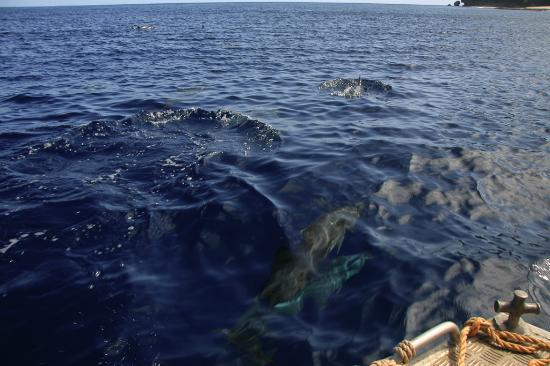 Deep Blue Diving: Dolphin