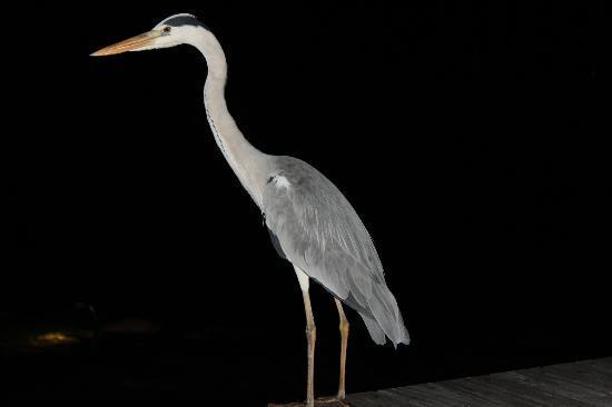 Mirihi Island Resort: Bird