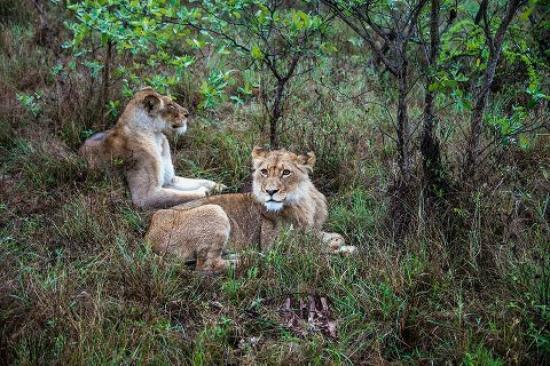 Simbambili Game Lodge: Lioness trying to protect her < 3YO male cub