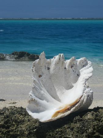 Mystery Island : Big shells like this all over the island