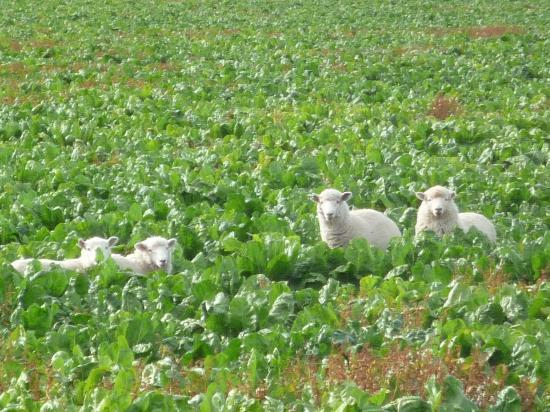 Glenview Farmstay: run away sheeps
