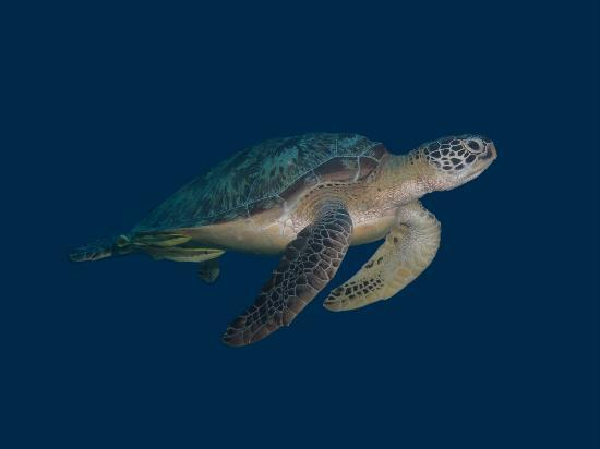 Gili Air, Indonesien: Green Turtles