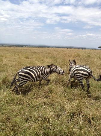 andBeyond Kichwa Tembo Tented Camp: Zebras playing