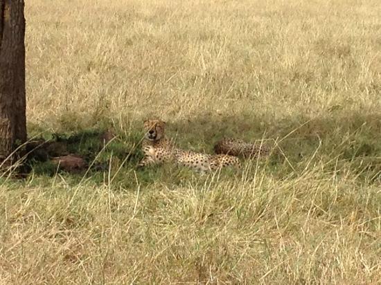 andBeyond Kichwa Tembo Tented Camp: Cheetah brothers