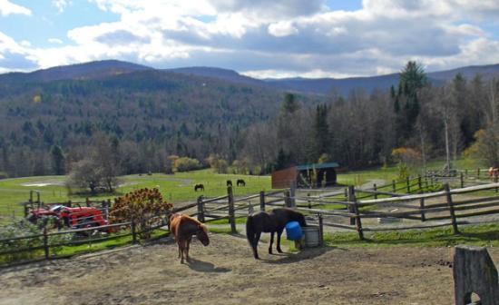 Vermont Icelandic Horse Farm: icelandic horses