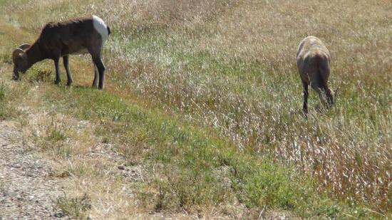 Lamar Valley: Long Horned Sheep