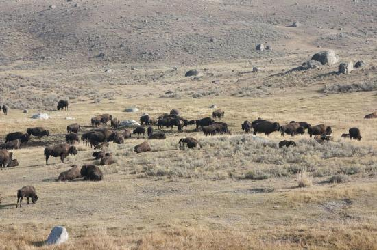 Lamar Valley: Herd of Bison