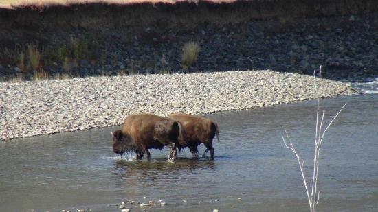 Lamar Valley: Bison crossing river on different occasion