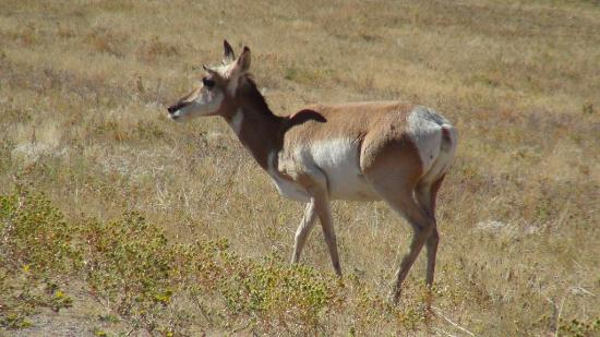 Lamar Valley: Pronghorn