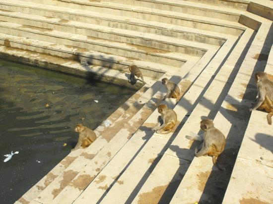 Monkey Temple (Galta Ji): Monkeys playing in the pool
