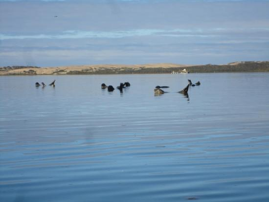 Central Coast Outdoors: seals in Morro bay