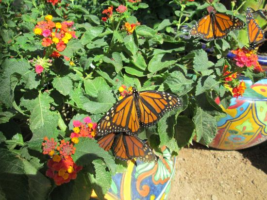Monarch butterfly migration stop over at the gardens for Phoenix butterfly garden