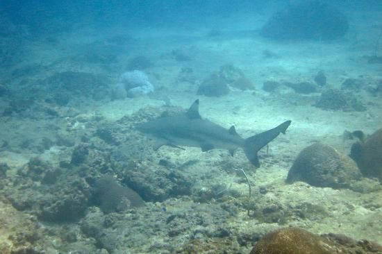 Bangtao Dive Center: Blacktip Reef Shark