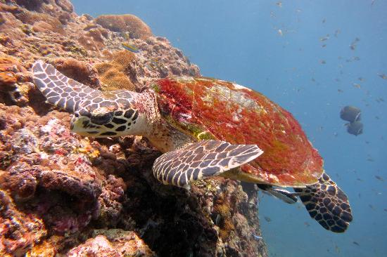 Bangtao Dive Center: Seaturtle
