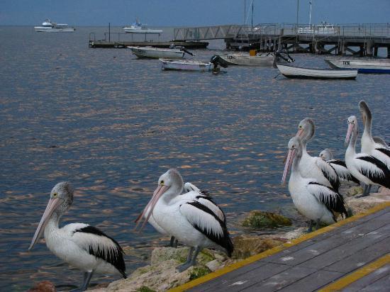 Pelican Feeding: Porto