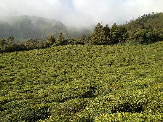 Mount 'n' Mist: tea plantations