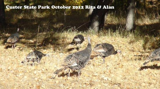 Custer State Park: Custer Turkey